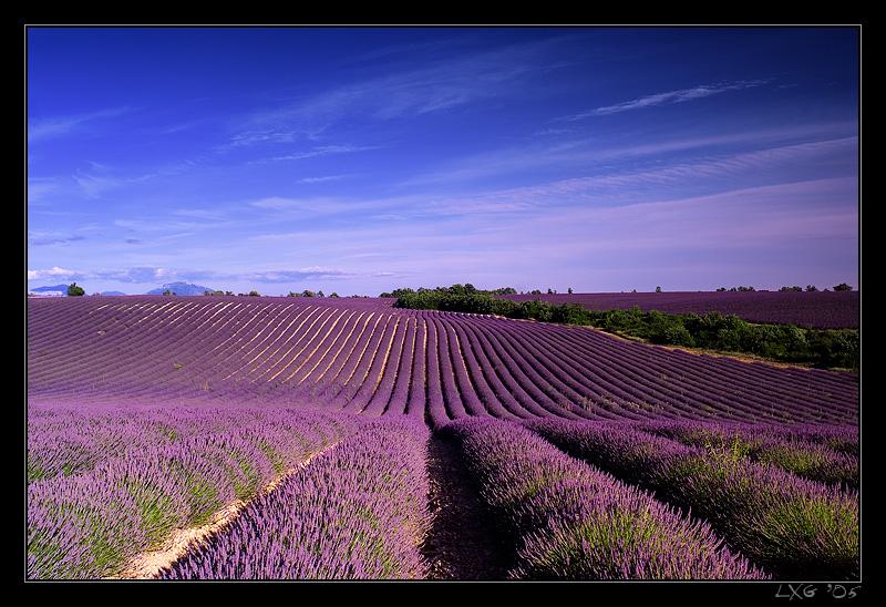 Provence_LavHoriz1.jpg