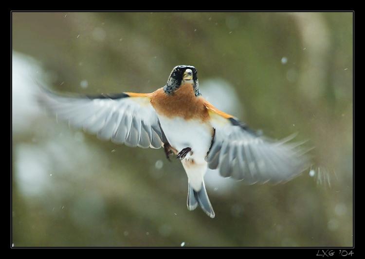 Bergfink_fliegend2.jpg