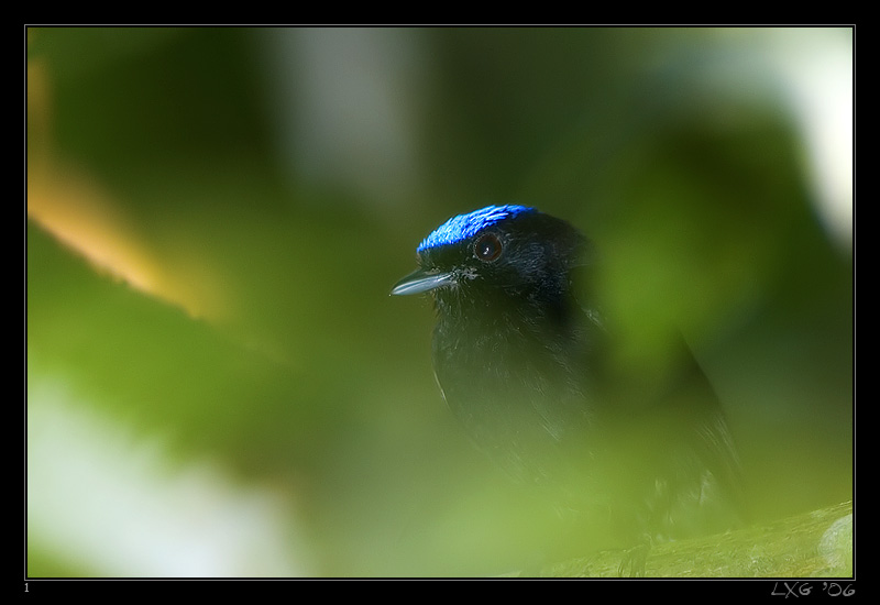 CRA_BlueCrownedManakin.jpg