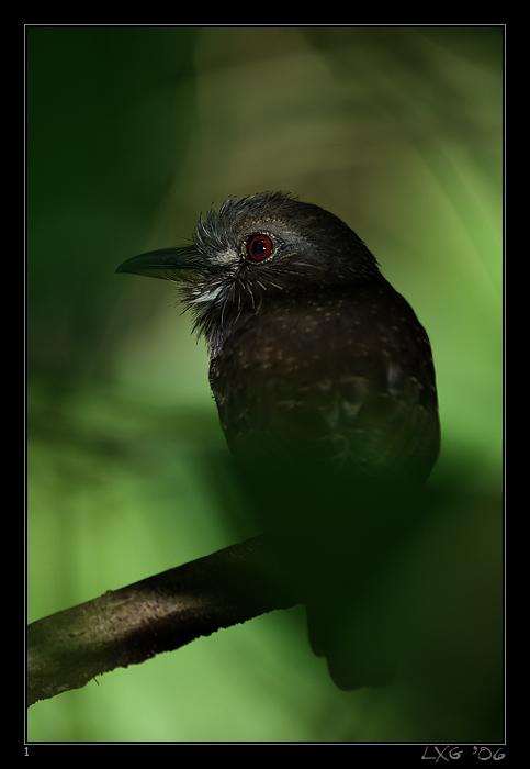 CRA_Puffbird.jpg