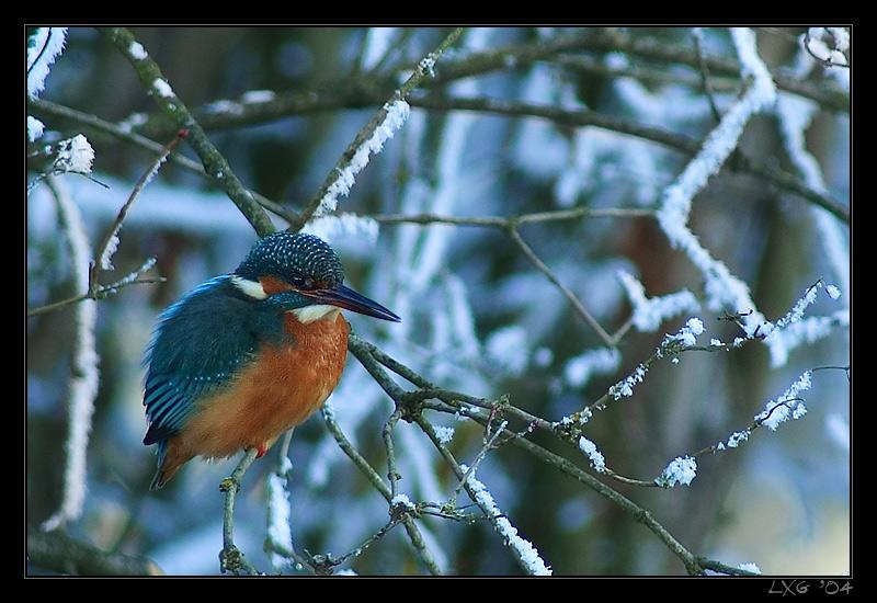 Eisvogel_Schnee1.jpg