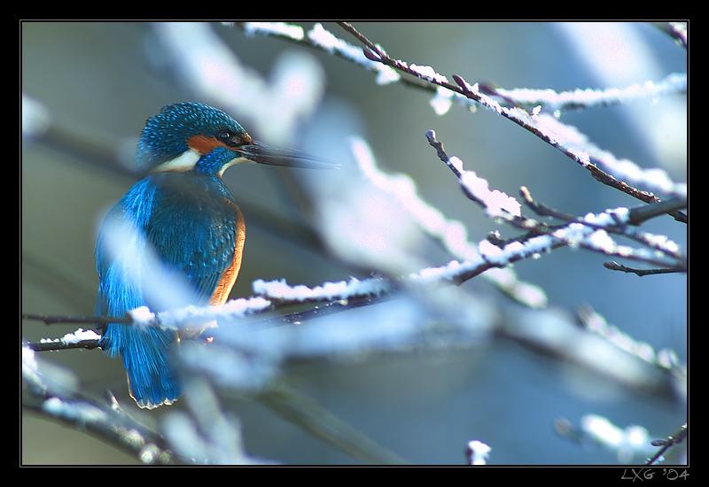 Eisvogel_Schnee_nah1.jpg