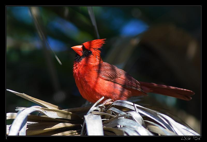 FLA_Kardinal1.jpg