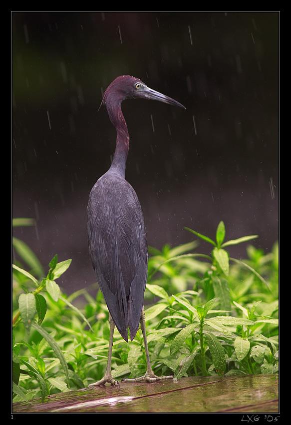 FLA_LittleBlue_Rain.jpg
