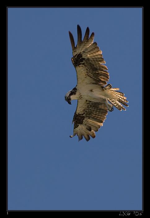 FLA_OspreyFlight1.jpg