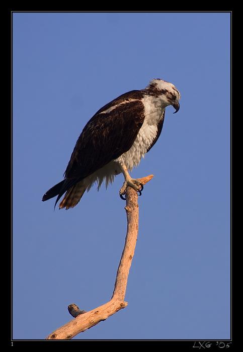 FLA_Osprey_pennt.jpg