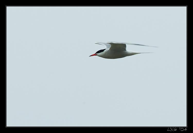 Flussseeschwalbe_Enterprise.jpg