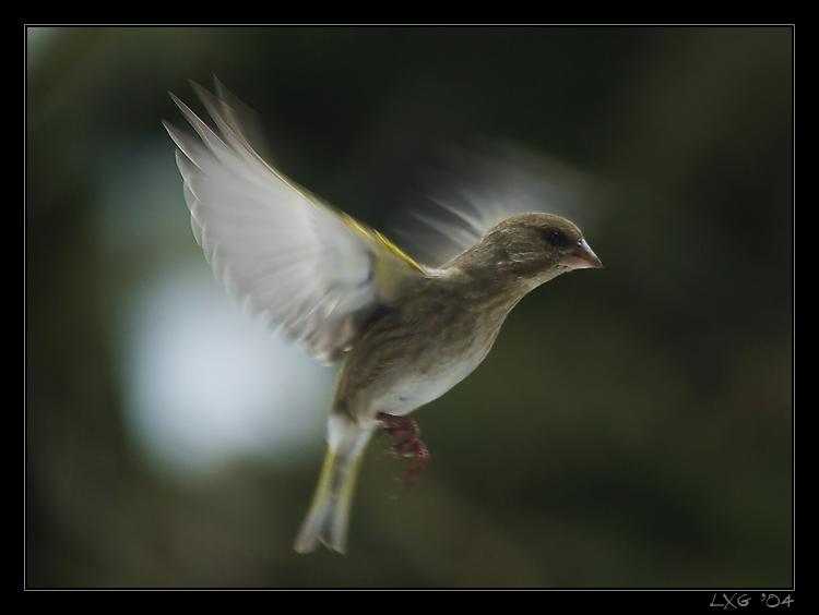 Gruenfink_fliegend.jpg