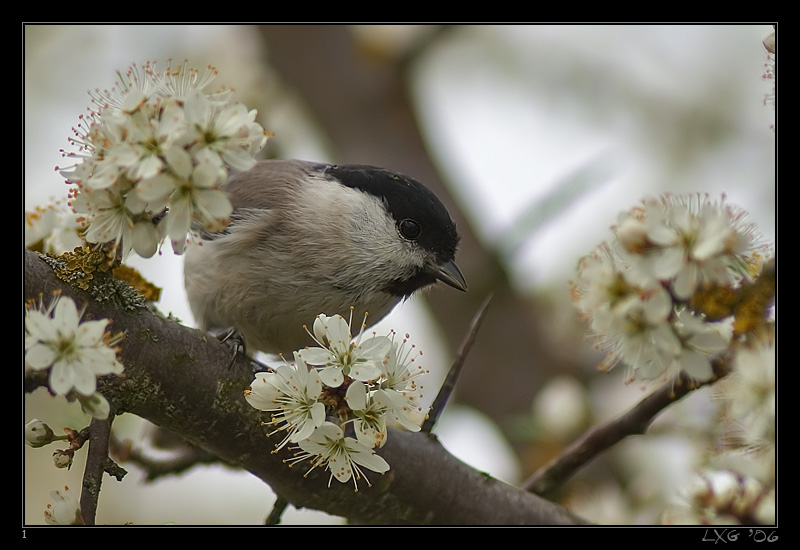 Sumpfmeise_spring1.jpg