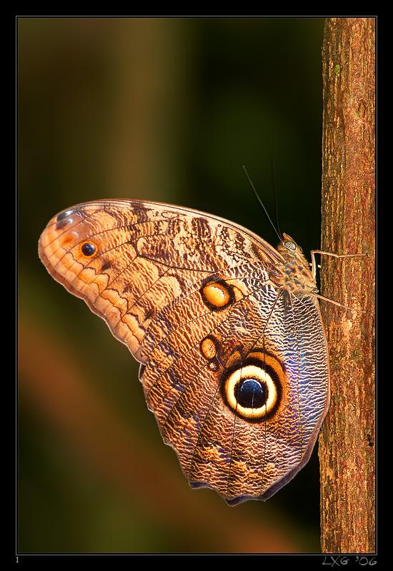 CRA_OwlButterfly.jpg