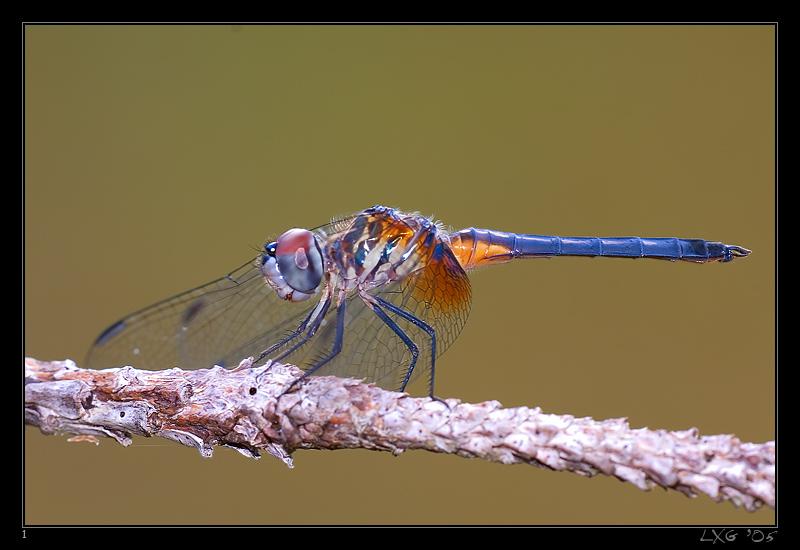 FLA_BlueDasher1.jpg