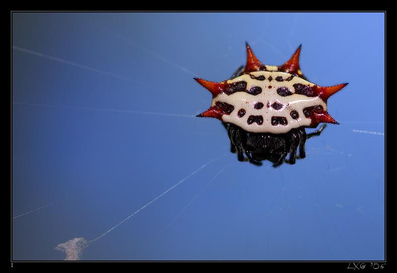 FLA_Crabspider1.jpg