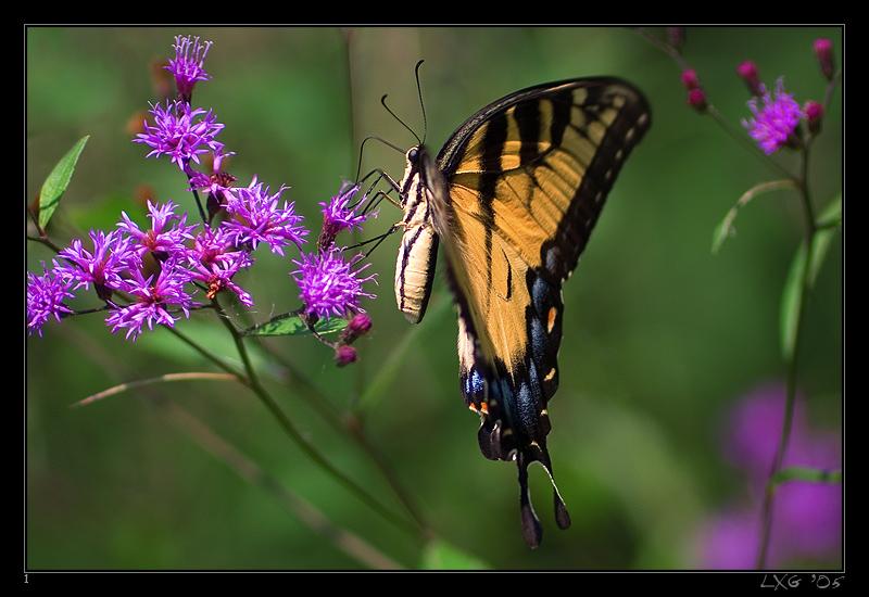 FLA_TigerSwallowtail.jpg