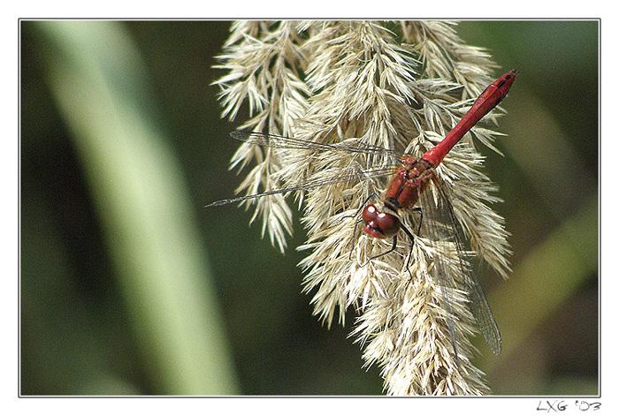 Libellen_BlutroteHeide01_sm.jpg