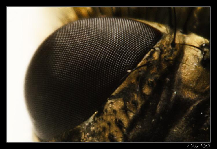 Makro_Gelbfliegenauge.jpg