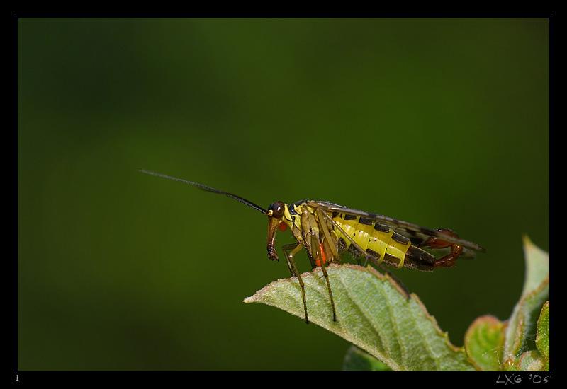Skorpionsfliege_maennl.jpg