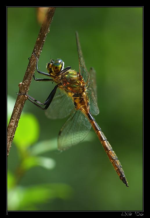 Smaragdlibelle_Fleck1.jpg