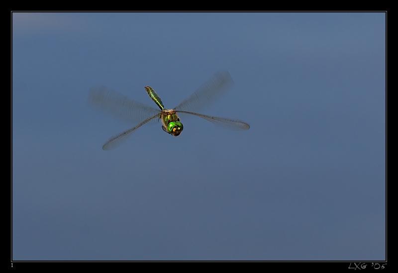 Smaragdlibelle_Flug1.jpg