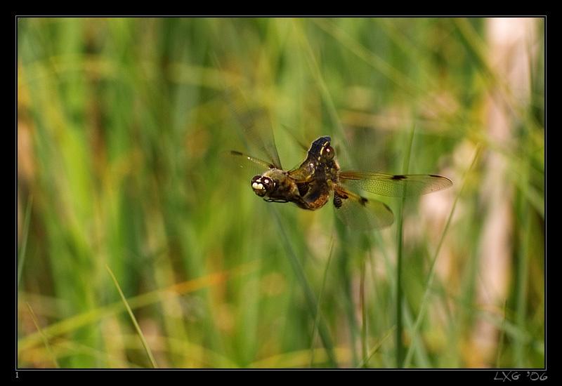Vierflecken_Luftpoppen2.jpg
