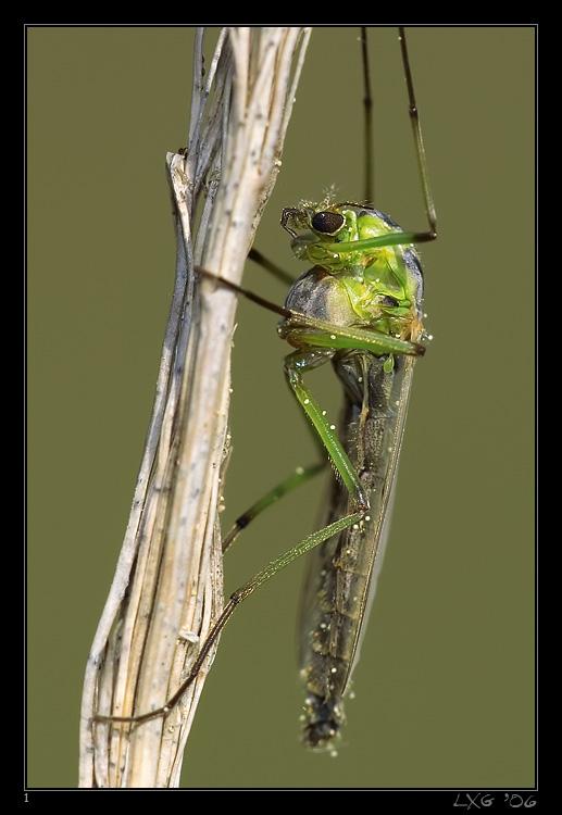 froschfliege.jpg