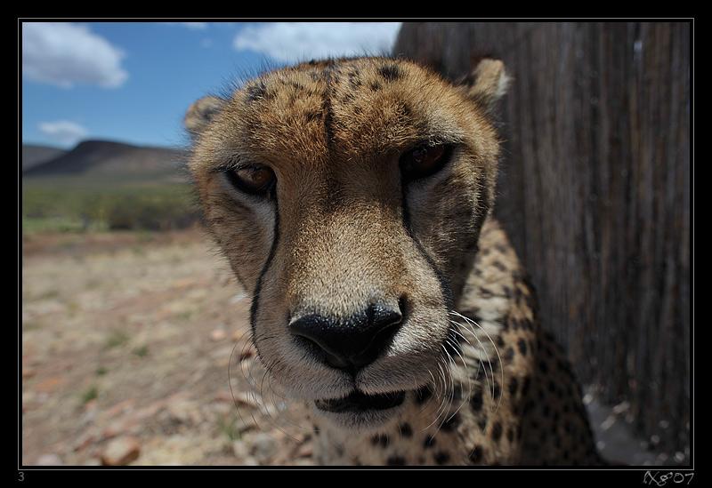 CPT_CheetahNah.jpg