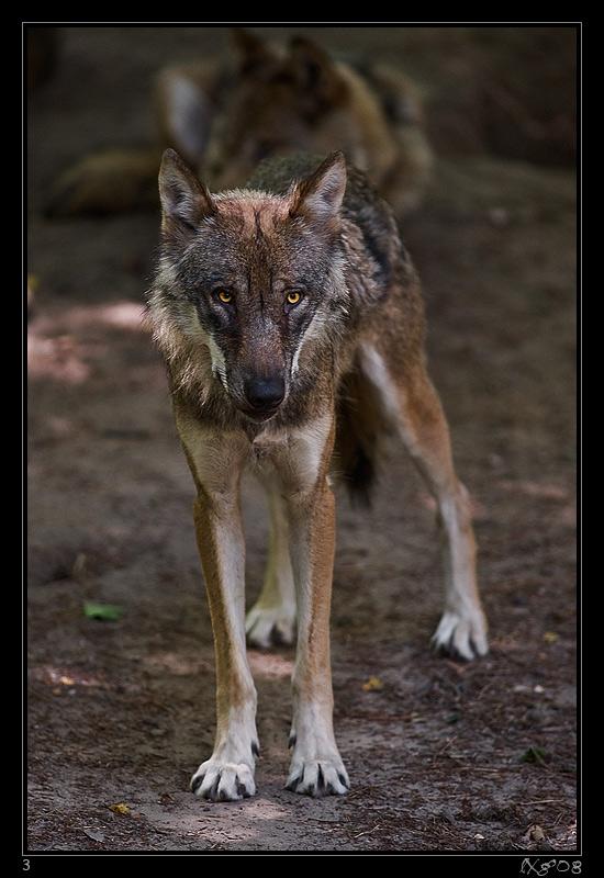 WolfSchwarzBerg1.jpg