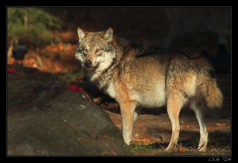 Wolf_Alpha.jpg