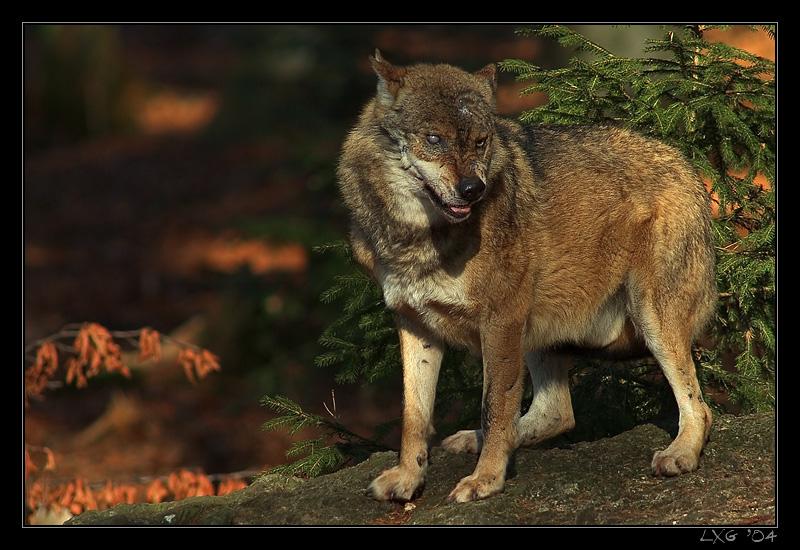 Wolf_Terminator.jpg