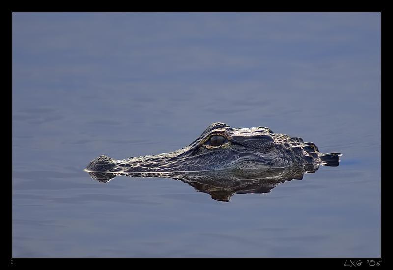 FLA_Alligator_Water1.jpg