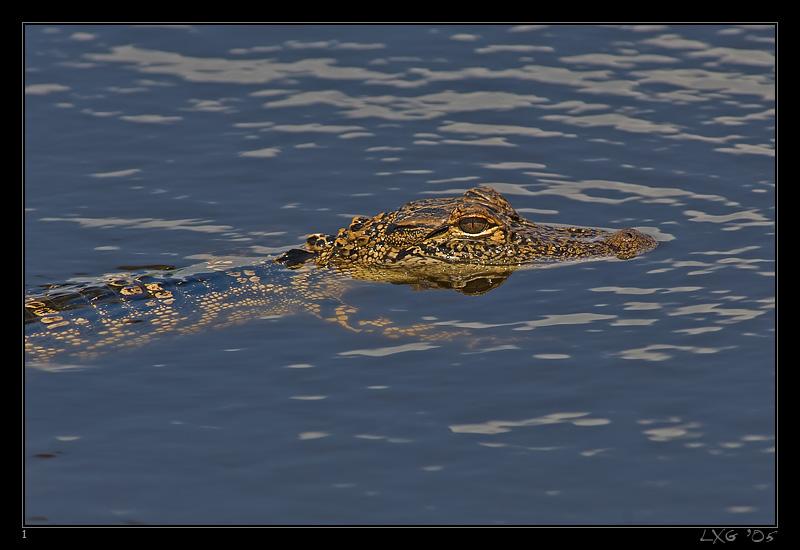FLA_Alligator_small.jpg